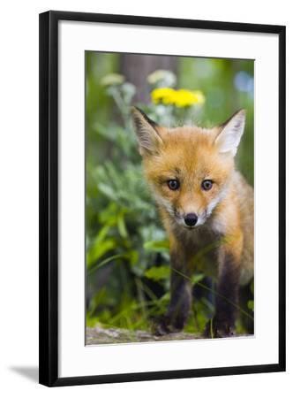 Red Fox Kit in Spring Wildflowers Minnesota Captive-Design Pics Inc-Framed Photographic Print
