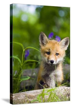 Red Fox Kit in Spring Wildflowers Minnesota Captive-Design Pics Inc-Stretched Canvas Print