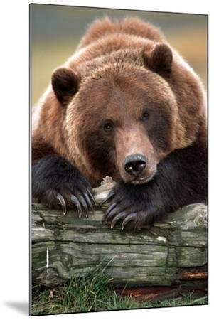 Brown Bear Rests with it Front Legs Outstrenched on a Log, Alaska Wildlife Conservation Center-Design Pics Inc-Mounted Photographic Print