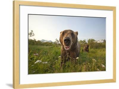 Captive Grizzlies at the Alaska Wildlife Conservation Center Near-Design Pics Inc-Framed Photographic Print