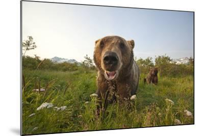 Captive Grizzlies at the Alaska Wildlife Conservation Center Near-Design Pics Inc-Mounted Photographic Print