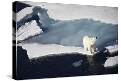 Polar Bear on Melting Sea Ice, High Angle View from Cruise Ship; Svalbard, Norway-Design Pics Inc-Stretched Canvas Print