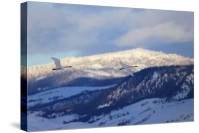 Two Trumpeter Swans, Cygnus Buccinator, Fly Above the Snow in Grand Teton National Park-Robbie George-Stretched Canvas Print