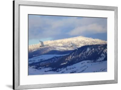 Two Trumpeter Swans, Cygnus Buccinator, Fly Above the Snow in Grand Teton National Park-Robbie George-Framed Photographic Print
