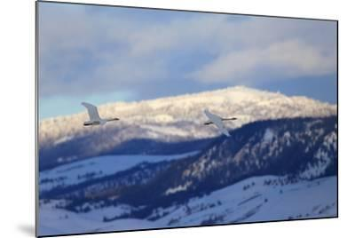 Two Trumpeter Swans, Cygnus Buccinator, Fly Above the Snow in Grand Teton National Park-Robbie George-Mounted Photographic Print