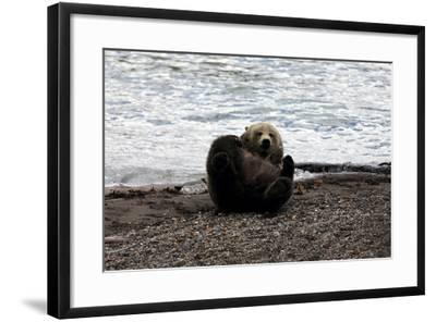 A Grizzly Bear, Ursus Arctos, Plays with a Feather in Yellowstone National Park-Robbie George-Framed Photographic Print