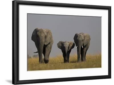 Elephant Herd Walking in Northern Botswana-Beverly Joubert-Framed Photographic Print