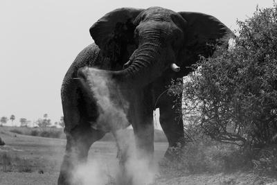 Elephant Dusting in Northern Botswana-Beverly Joubert-Framed Photographic Print