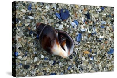 Close Up of Shell on a Beach, Lambert's Bay-Keith Ladzinski-Stretched Canvas Print