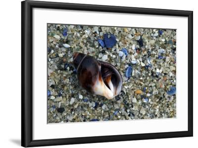 Close Up of Shell on a Beach, Lambert's Bay-Keith Ladzinski-Framed Photographic Print