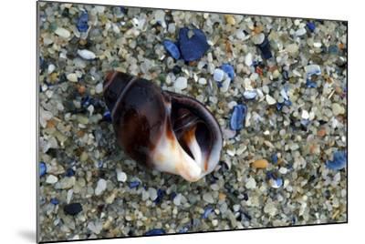 Close Up of Shell on a Beach, Lambert's Bay-Keith Ladzinski-Mounted Photographic Print