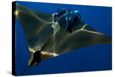A Mobula Ray with Two Remora-Like Fish Swimming over the Gamelas Seamount-Luis Lamar-Stretched Canvas Print