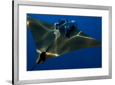 A Mobula Ray with Two Remora-Like Fish Swimming over the Gamelas Seamount-Luis Lamar-Framed Photographic Print