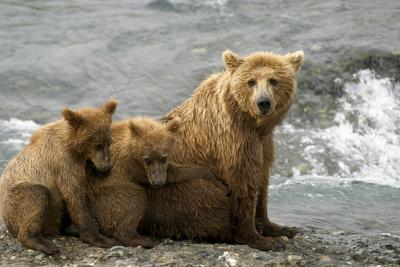 Mother Grizzly with 2nd Year Cubs by River Sw Ak Summer Mcneil State Game Sanctuary-Design Pics Inc-Framed Photographic Print