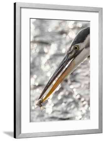 Close Up Portrait of a Great Blue Heron, Ardea Herodias, with a Small Fish in its Bill-Kent Kobersteen-Framed Photographic Print