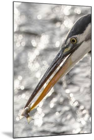 Close Up Portrait of a Great Blue Heron, Ardea Herodias, with a Small Fish in its Bill-Kent Kobersteen-Mounted Photographic Print