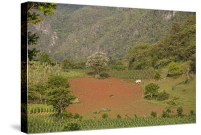 A Farmer Is Using Oxen to Plow a Field in the Best-Known Cigar Growing Region in Cuba-Michael Lewis-Stretched Canvas Print