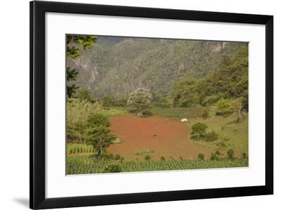 A Farmer Is Using Oxen to Plow a Field in the Best-Known Cigar Growing Region in Cuba-Michael Lewis-Framed Photographic Print