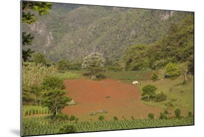 A Farmer Is Using Oxen to Plow a Field in the Best-Known Cigar Growing Region in Cuba-Michael Lewis-Mounted Photographic Print
