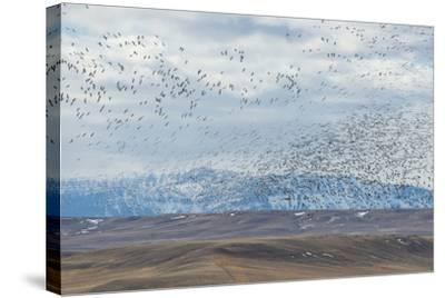 A Flock of Birds Fly Near the Front Range of the Rocky Mountains in Montana-Michael Melford-Stretched Canvas Print