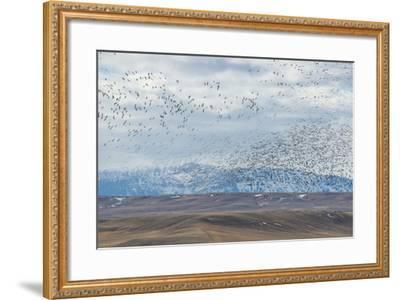 A Flock of Birds Fly Near the Front Range of the Rocky Mountains in Montana-Michael Melford-Framed Photographic Print