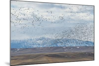 A Flock of Birds Fly Near the Front Range of the Rocky Mountains in Montana-Michael Melford-Mounted Photographic Print