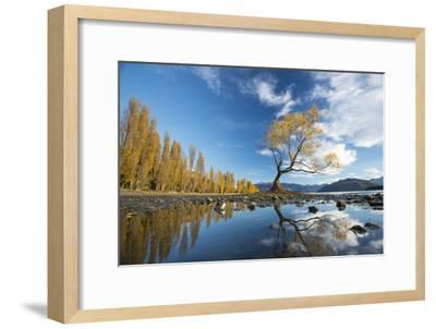 A Lone Cottonwood Tree on Stands on the Bank of Lake Wanaka-Michael Melford-Framed Photographic Print