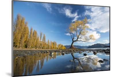 A Lone Cottonwood Tree on Stands on the Bank of Lake Wanaka-Michael Melford-Mounted Photographic Print
