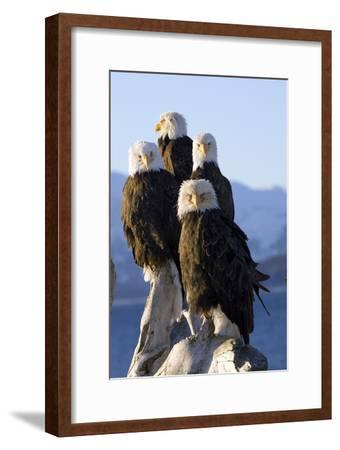 Several Adult Bald Ealges Perched on Driftwood on the Shores of Kachemak Bay on the Homer Spit-Design Pics Inc-Framed Photographic Print