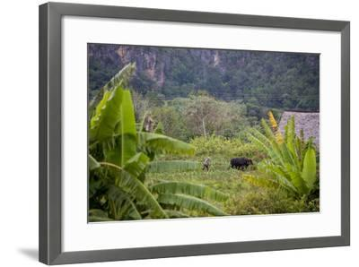 A Farmer Uses Oxen to Plow a Field in the Best-Known Cigar Growing Region in Cuba, Pinar Del Rio-Michael Lewis-Framed Photographic Print