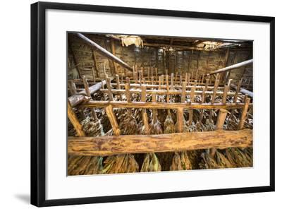 Tobacco Hanging in a Shed to Dry in the Best-Known Growing Region of Cuba, Pinar Del Rio-Michael Lewis-Framed Photographic Print