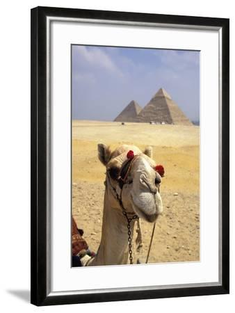 Close-Up on a Camel Looking at the Camera with Pyramids in the Background, Giza, Egypt; Giza, Egypt-Design Pics Inc-Framed Photographic Print