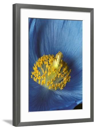 Close Up Detail of Blue Poppy-Design Pics Inc-Framed Photographic Print