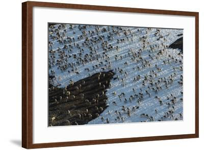 The Porcupine Caribou Herd Migrating to their Calving Grounds on the Coastal Plains of Alaska-Peter Mather-Framed Photographic Print