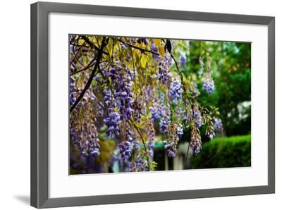 Flowering Wisteria Hangs in a Garden-Keith Ladzinski-Framed Photographic Print