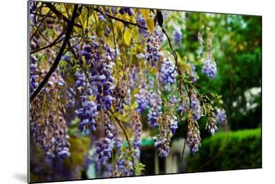 Flowering Wisteria Hangs in a Garden-Keith Ladzinski-Mounted Photographic Print