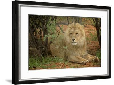 A Male Lion in the Cederberg Wilderness Area, South Africa-Keith Ladzinski-Framed Photographic Print