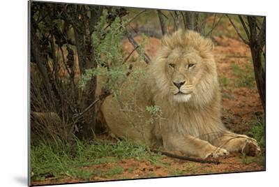 A Male Lion in the Cederberg Wilderness Area, South Africa-Keith Ladzinski-Mounted Photographic Print