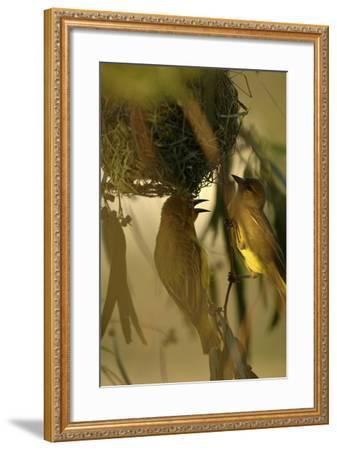 Cape Weaver Birds Building a Nest in South Africa-Keith Ladzinski-Framed Photographic Print