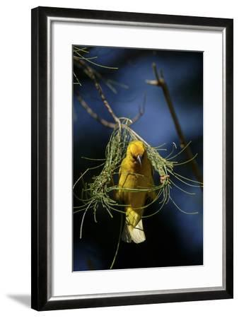A Cape Weaver Bird Builds a Nest in South Africa-Keith Ladzinski-Framed Photographic Print