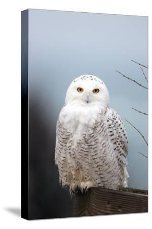 A Snowy Owl, Bubo Scandiacus, Perches on a Fence and Scans the Winter Landscape-Robbie George-Stretched Canvas Print