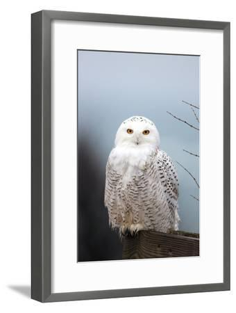 A Snowy Owl, Bubo Scandiacus, Perches on a Fence and Scans the Winter Landscape-Robbie George-Framed Photographic Print