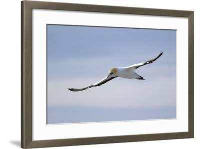 A Cape Gannet in Flight, South Africa-Keith Ladzinski-Framed Photographic Print