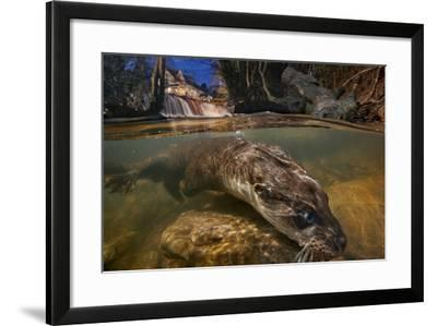 A Female Otter Searches for Prey-Charlie Hamilton James-Framed Photographic Print