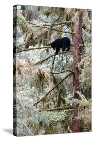 Black Bear Cub Up a Tree for Protection Against a Male Grizzly at Anan Creek Bear Observatory-Design Pics Inc-Stretched Canvas Print