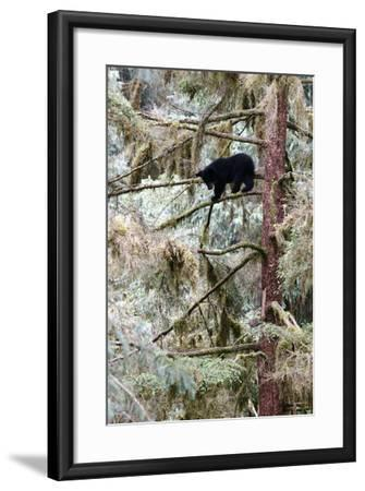 Black Bear Cub Up a Tree for Protection Against a Male Grizzly at Anan Creek Bear Observatory-Design Pics Inc-Framed Photographic Print
