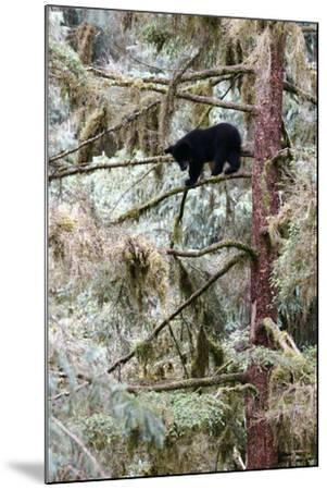 Black Bear Cub Up a Tree for Protection Against a Male Grizzly at Anan Creek Bear Observatory-Design Pics Inc-Mounted Photographic Print