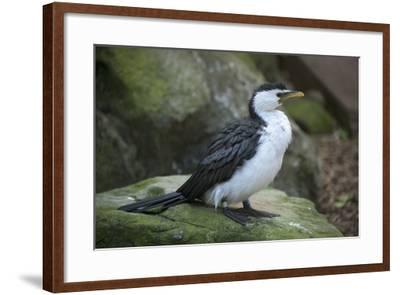 A Little Pied Cormorant, Microcarbo Melanoleucos, at the Taronga Zoo-Joel Sartore-Framed Photographic Print