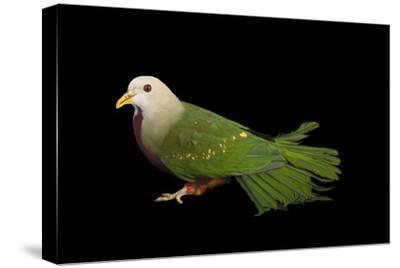 A Wompoo Fruit Dove, Ptilinopus Magnificus, at the Kansas City Zoo-Joel Sartore-Stretched Canvas Print