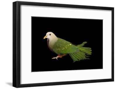 A Wompoo Fruit Dove, Ptilinopus Magnificus, at the Kansas City Zoo-Joel Sartore-Framed Photographic Print